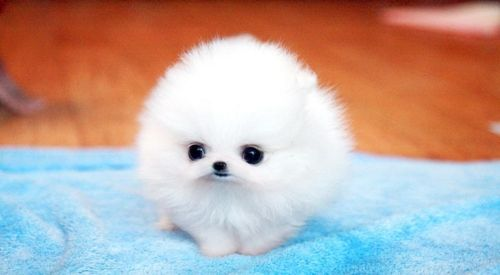Baby teacup pomerian...Just a little fluffball ♥ credit to someone on the internet
