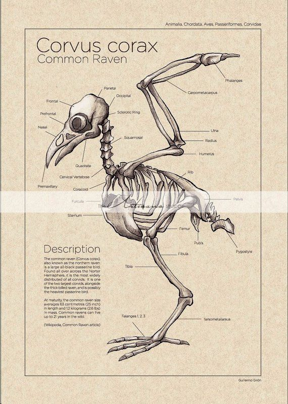 Vintage Diagram Cat6 Keystone Jack Wiring Printable Art Instant Download Raven Crow Skeleton Paper Crafts Scrapbooking Alt