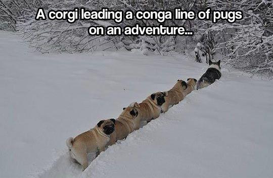 pugs and quotes | corgi leading a conga line of pugs on an adventure