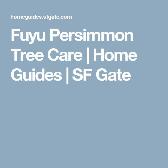 Fuyu Persimmon Tree Care   Home Guides   SF Gate