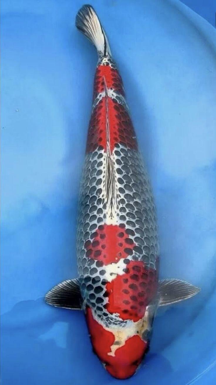 Freshwater fish jigsaw puzzles - Kujaku