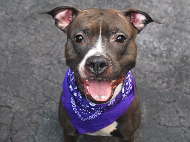 R.I.P. 6/23/16...Manhattan Center MYDNITE – A1075650 FEMALE, BLACK / WHITE, AM PIT BULL TER MIX, 4 yrs OWNER SUR – EVALUATE, NO HOLD Reason OWN EVICT Intake condition EXAM REQ Intake Date 05/30/2016, From NY 10468, DueOut Date 05/30/2016