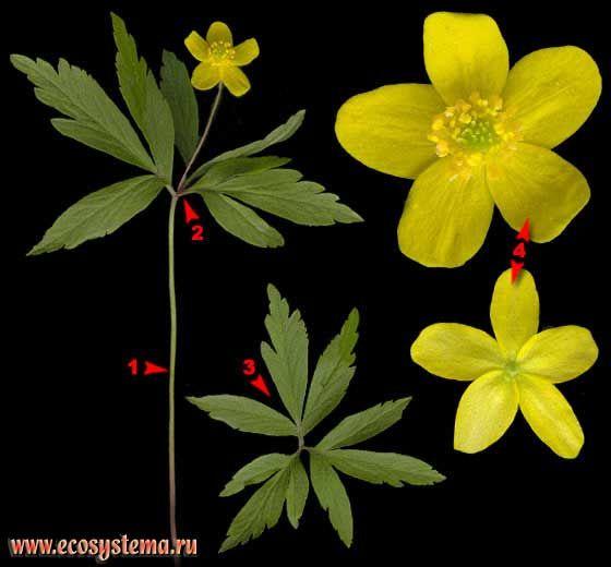 Ветреница лютиковая — Anemone ranunculoides L. (Anemonoides ranunculoides (L.) Holub)