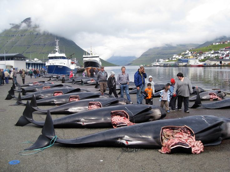 """Whale Murder"" in the Faroe Islands: 100 Pilot Whales Slain for Cultural Tradition"
