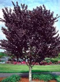 72 Best Images About Small To Mid Size Trees On Pinterest