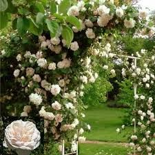 MADAME ALFRED CARRIERE Fragrant, fully double, white to pale pink flowers from July to September and light green leaves. This reliable, repeat-flowering, old climbing rose is ideal for a north-facing site. A popular and hardy climber since Victorian times, its slender, pliable stems are particularly suitable for training over a rose-arch
