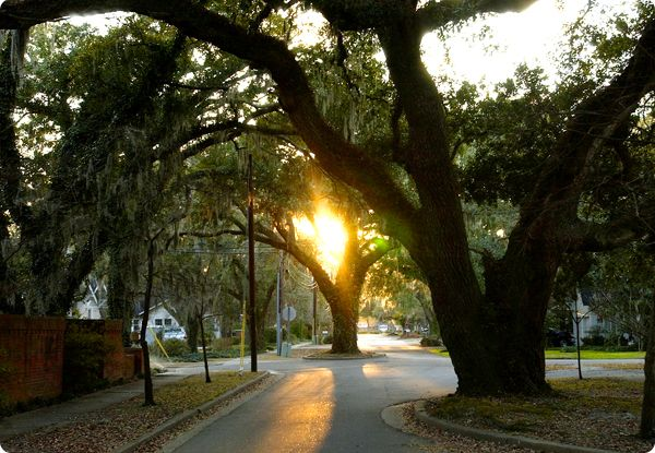 Oak Trees in the middle of the road Conway, SC