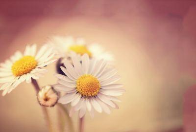 White daisies wide