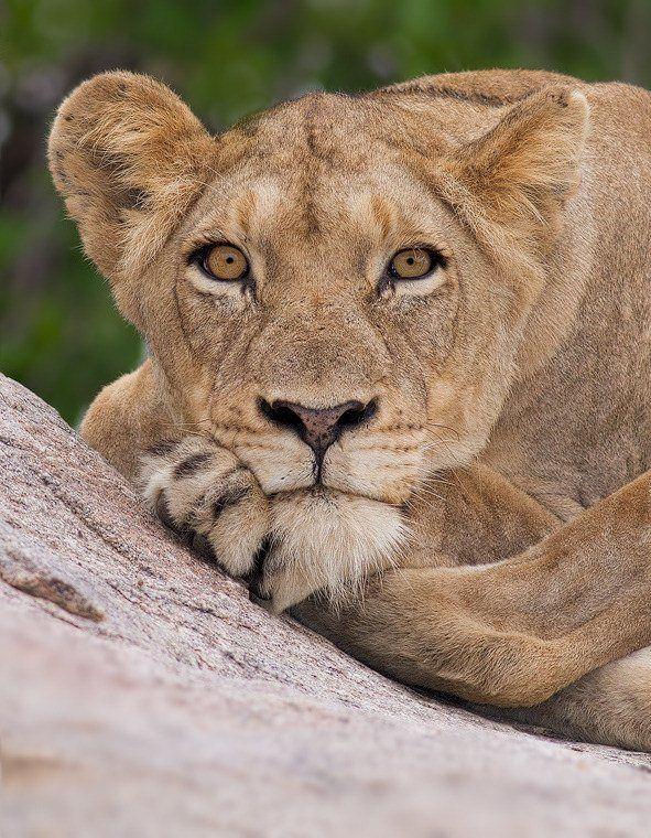 lioness-stare---portrait