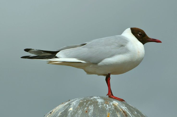 Black headed gull in Summer plumage.