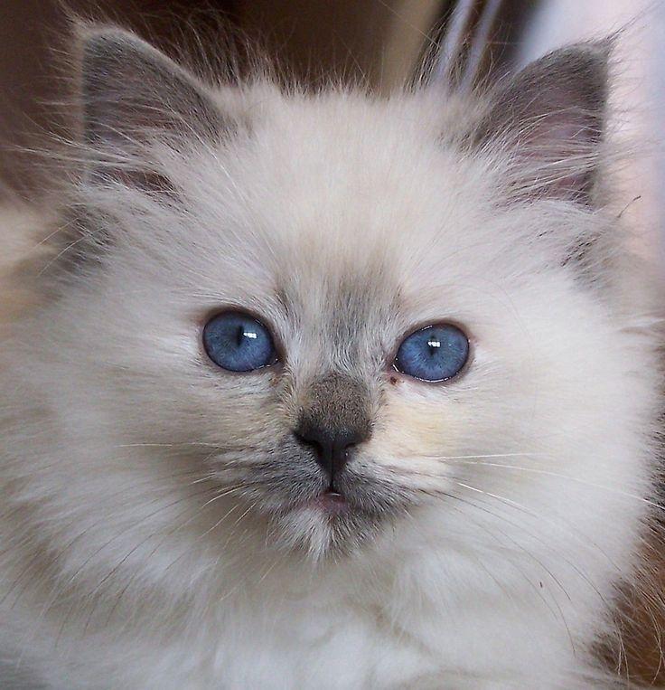 Ragdoll Cat Bing Images Fancy cats, Cats, Cute cats