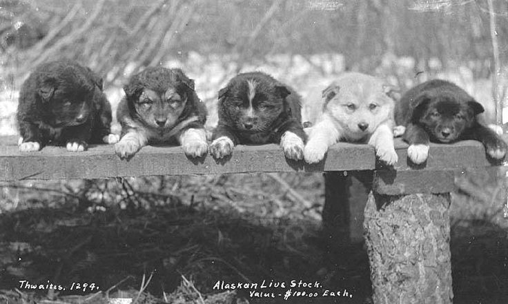 File:Puppies in a row on a wooden bench, ca 1912 (THWAITES 202).jpeg