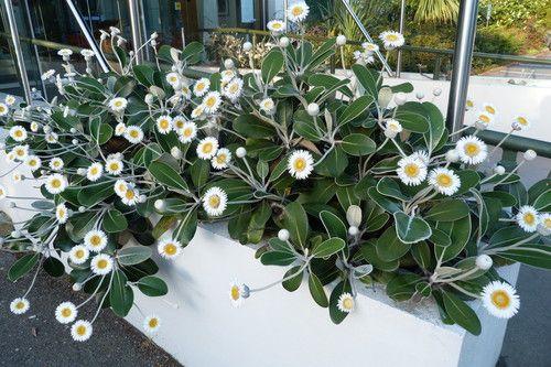 Pachystegia insignis - Marlborough Rock Daisies.  I've got these already!