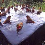 Footage of Over 30 Hummingbirds Splashing in a Birdbath