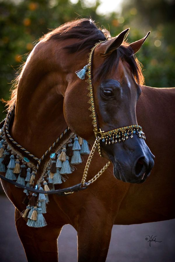 Bey Ambition | Arabian Horse Exchange