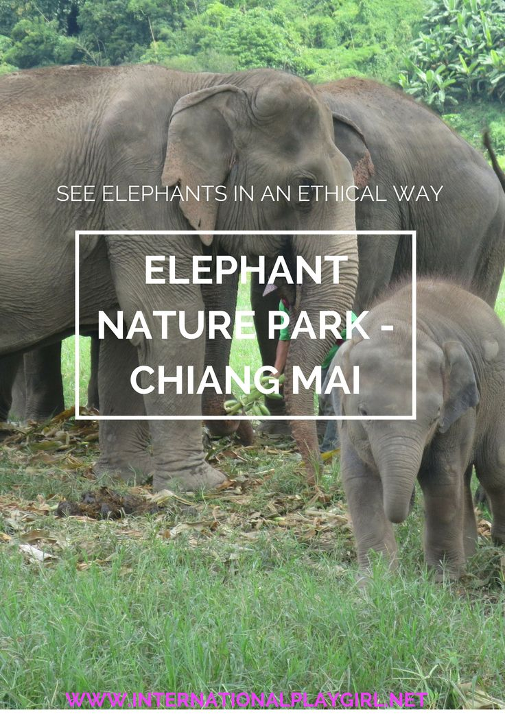 Elephants are beautiful, intelligent, friendly creatures and humans are fascinated by them. Sadly, this means that in countries like Thailand, these animals are exploited and subject to cruelty in the tourism industry. However, Elephant Nature Park in Chiang Mai is taking in previously hurt and abused elephants and provides a solution. Here you can see elephants and be a part of something good!