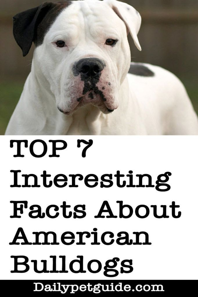 American Bull Puppies Interesting Facts You Need To Know Daily