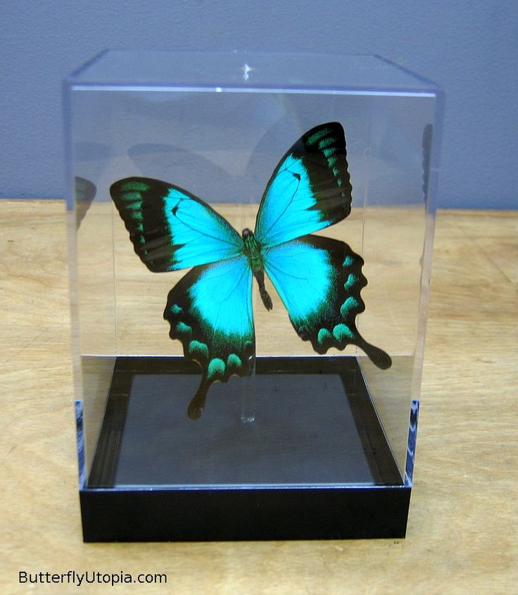 Papilio lorquinianus aqua blue/green radiant swallowtail butterfly
