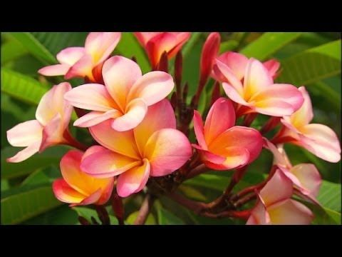 Graham Ross: Frangipani profile, ep 2 (07.02.14)