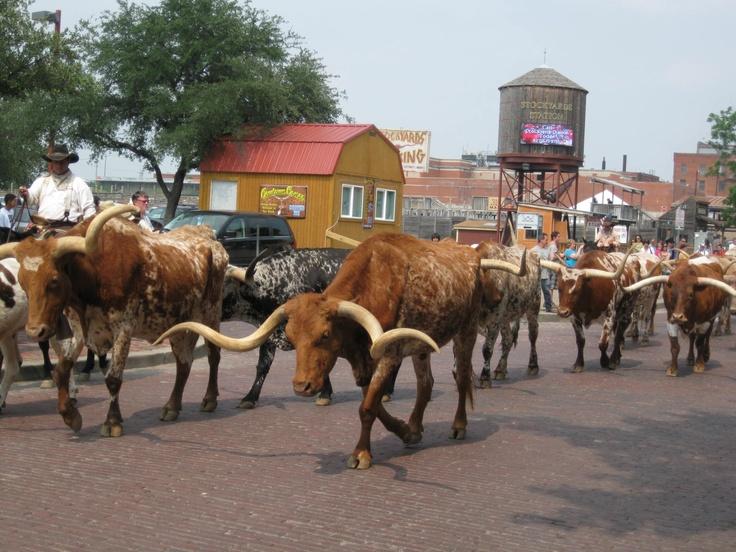 Fort Worth Stockyard cattle drive