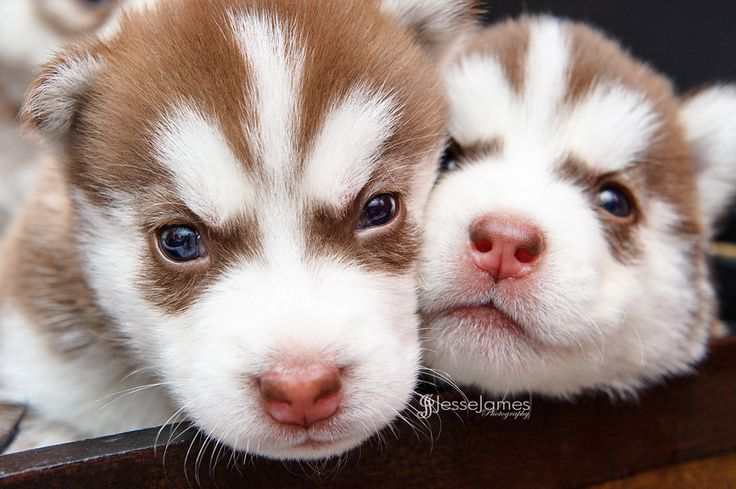 Siberian Husky Puppies  //  by Jesse James Photography