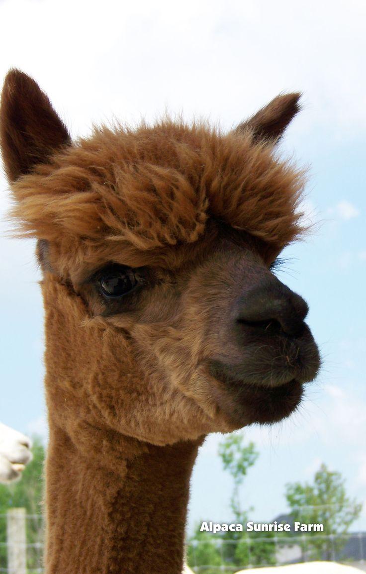 HUACAYA ALPACA. Alpaca Sunrise Farm is a full-service Alpaca farm since 1998 • Alpaca sales • breeding • boarding • Alpaca raw fiber, yarn, roving sales for knitters, crocheters, weavers and fiber artists. www.AlpacaSunrise... #alpaca #alpacas