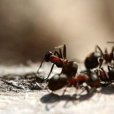 Use home remedies to rid the kitchen of small black ants.