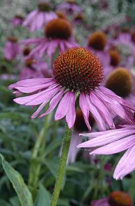RHS Plant Selector Echinacea purpurea 'Magnus' / RHS Gardening    July perennial GH