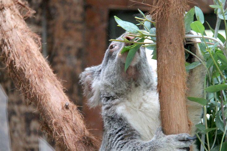 koala w ZOO w Lizbonie