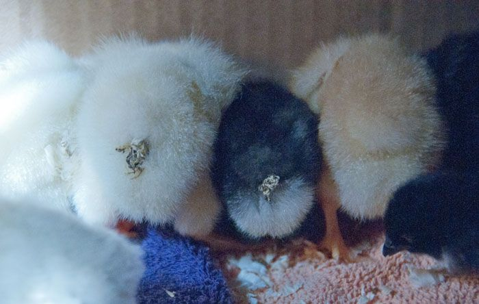 87 Best Images About Chicken Chicks On Pinterest