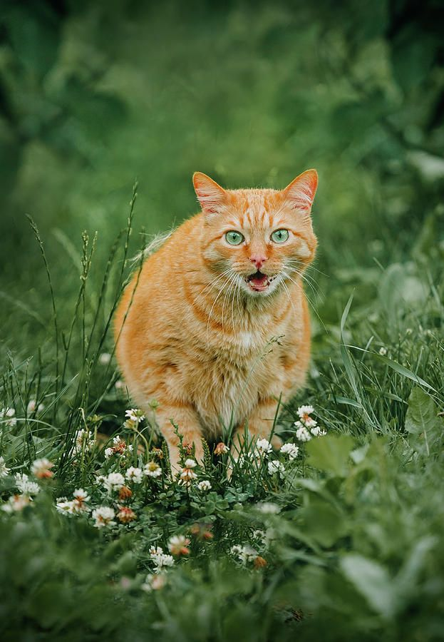 Ginger Cat In Grass Photograph by Oksana Ariskina on @pixels and @fineartamerica  Buy print and other product with my fine art photography online: www.oksana-ariskina.pixels.com    #OksanaAriskina  #Nature #Cat #Pet #ArtForHome #Ginger #Funny #Cute #FineArtPrints #InteriorDesign #PrintsForSale #BuyArtOnline