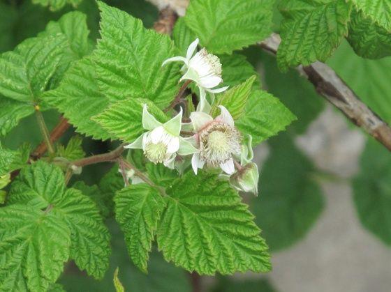 La feuille de framboisier une fois fermentée et séchée, fait un excellente tisane au goût de thé. Plante idéale pour les femmes