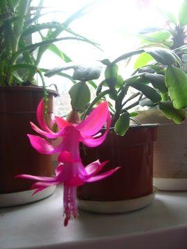 Zygokaktus, kaktus bożonarodzeniowy, grudnik, Zygocactus, Christmas Cactus, uprawa zygokaktusa, uprawa grudnika, kaktusa Bożego Narodzenia, rośliny do domu,opis rośliny