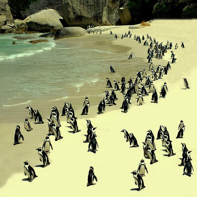 Spend a day at the beach with few new friends at the Boulders Penguin Simon's Town Beach, South Africa