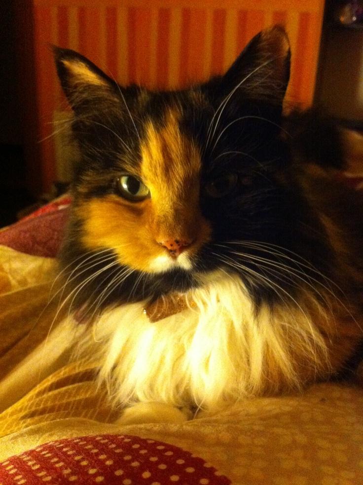 fluffy calico cat - photo #34