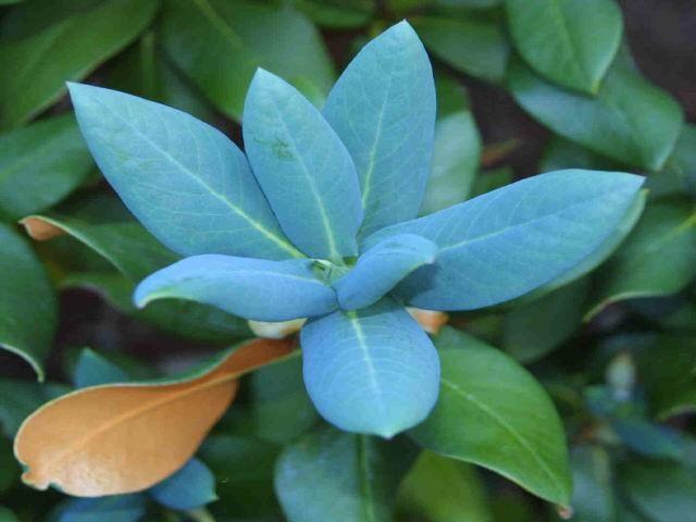 R. campanulatum ssp. aeruginosum, Foto: Warren E. Berg