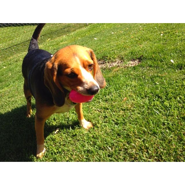 Beagle Easter egg hunt.