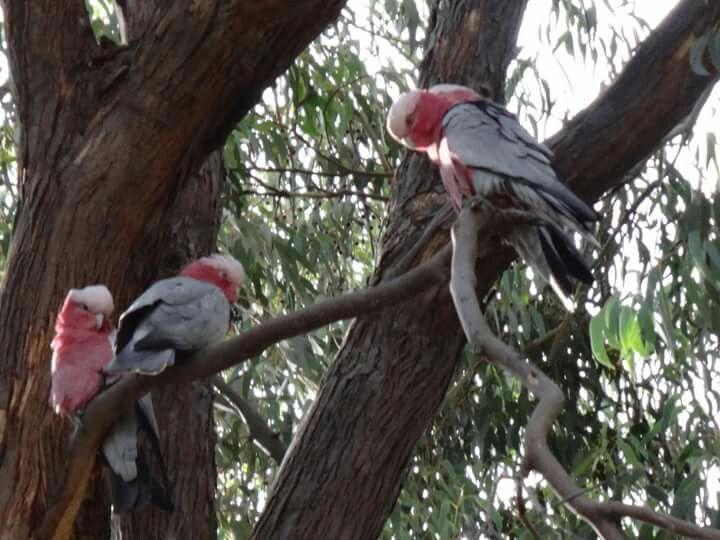 Galahs in a Gumtree near Bunbury, WA