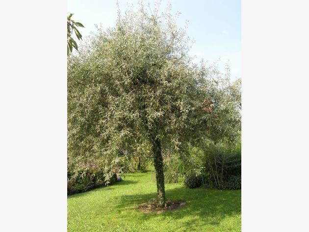 Weidenblättrige Birne  10 kleinwüchsige Bäume