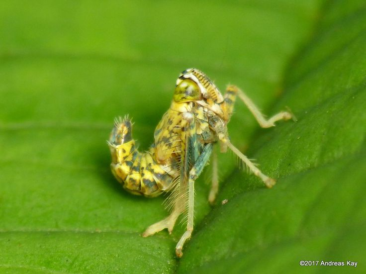 https://flic.kr/p/QgYaED | Leafhopper nymph | from Ecuador: www.flickr.com/andreaskay/albums