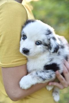 Miniature Australian Shepherd Puppy For Sale In Jay Fl Adn 4993 Miniature Australian Shepherd Puppies Miniature Australian Shepherd Australian Shepherd Puppy