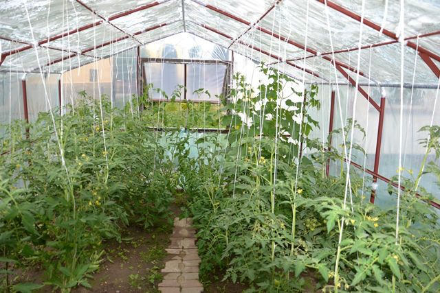 Uprawa roślin wysokopiennych będzie ułatwiona, gdy wyposażymy naszą szklarnię lub tunel w haczyki do podwieszania roślin
