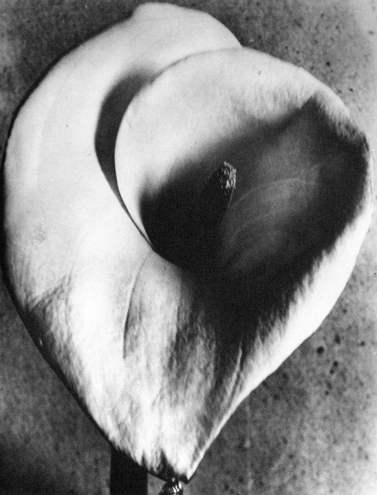 012_Tina Modotti, Calla, 1925.jpg -