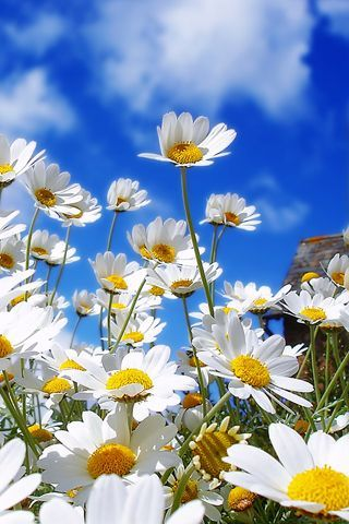 Wild Daisies against a blue, blue summer sky!!!  Perfect day!