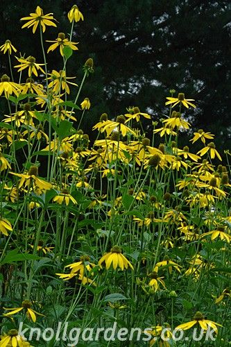 Rudbeckia laciniata | Knoll Gardens | Ornamental Grasses and Flowering Perennials