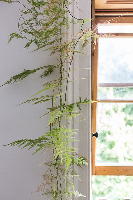 Asparagus Fern climbing up the window in the home of Carol Montpart, as seen on Coffeeklatch: http://coffeeklatch.be/en/interview/2013-08/36/carol-montpart