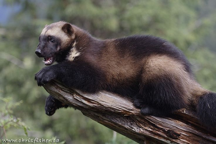 Wolverine Animal   Posted by Chris Fisher at 2:35 PM No comments: