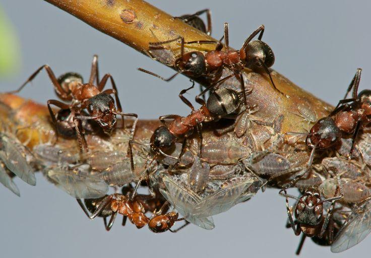 С муравьями на своем участке я боролся долго и безуспешно. Но в прошлом году сосед поделился со мной одним средством, с помощью которого он избавился от назойливых гостей.  Рецепт «снадобья» оказался…