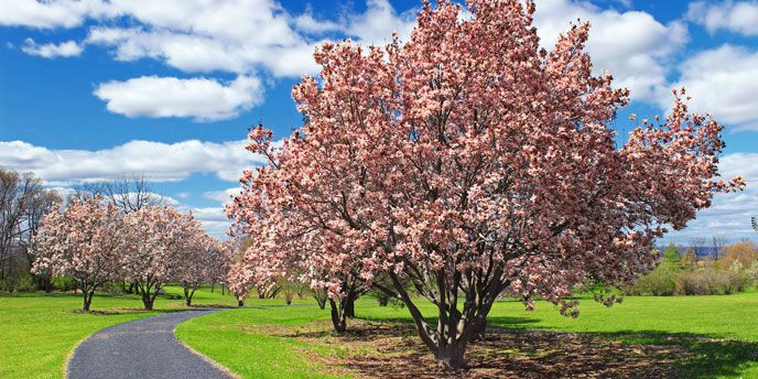 The Top 10 Trees For Backyard Privacy Dogwood Tree