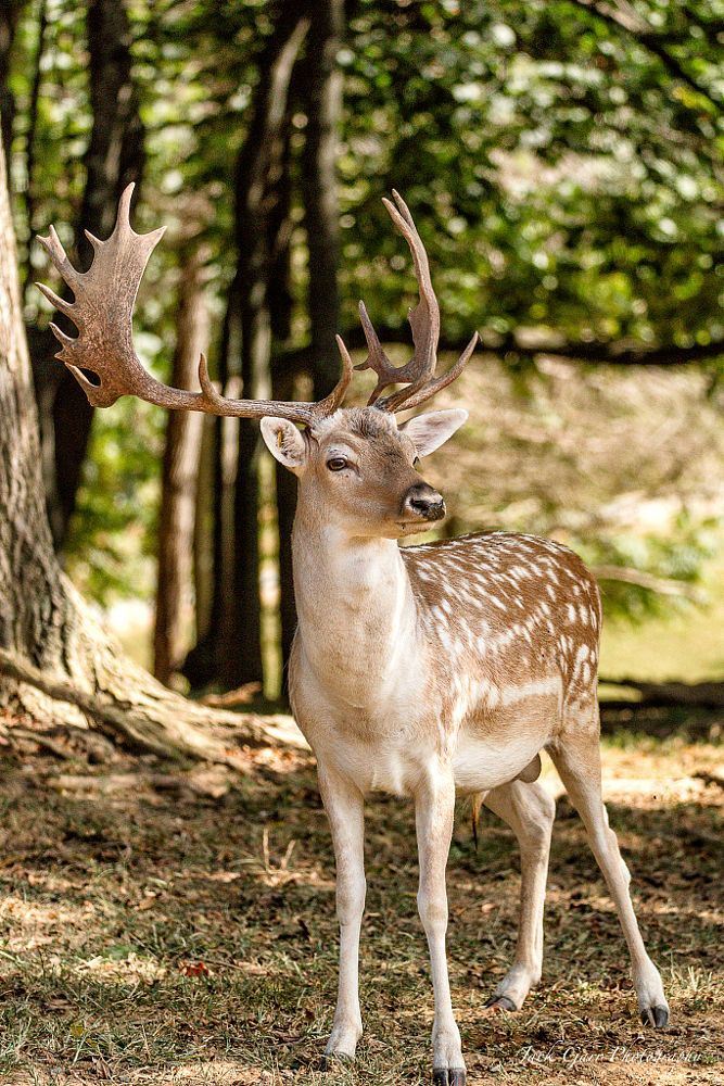 Fallow Deer by Jack Garr on 500px